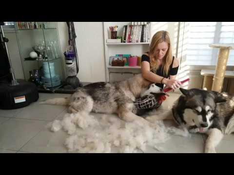 Shedding alaskan malamute puppy.