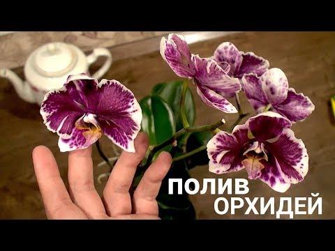 ПОЛИВ ОРХИДЕЙ в КАКОЕ ВРЕМЯ СУТОК НУЖНО поливать орхидеи