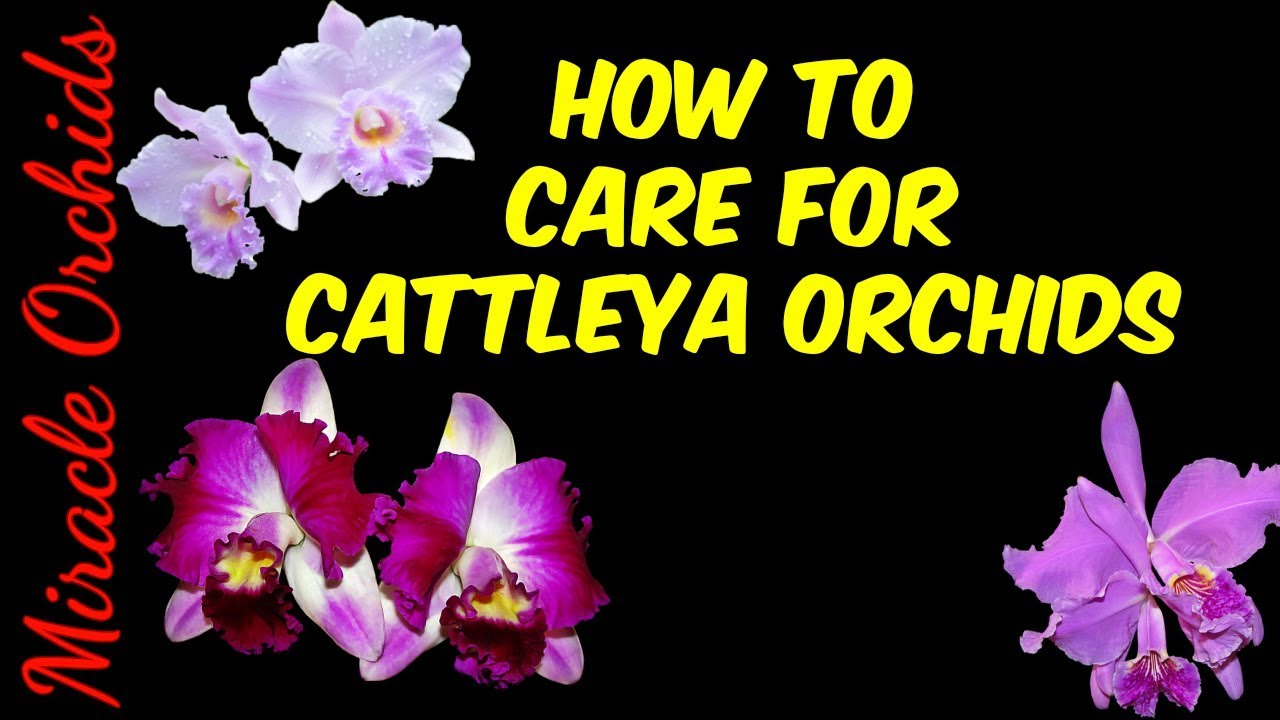 How Care For Cattleya Orchids Watering Fertilizing Reblooming
