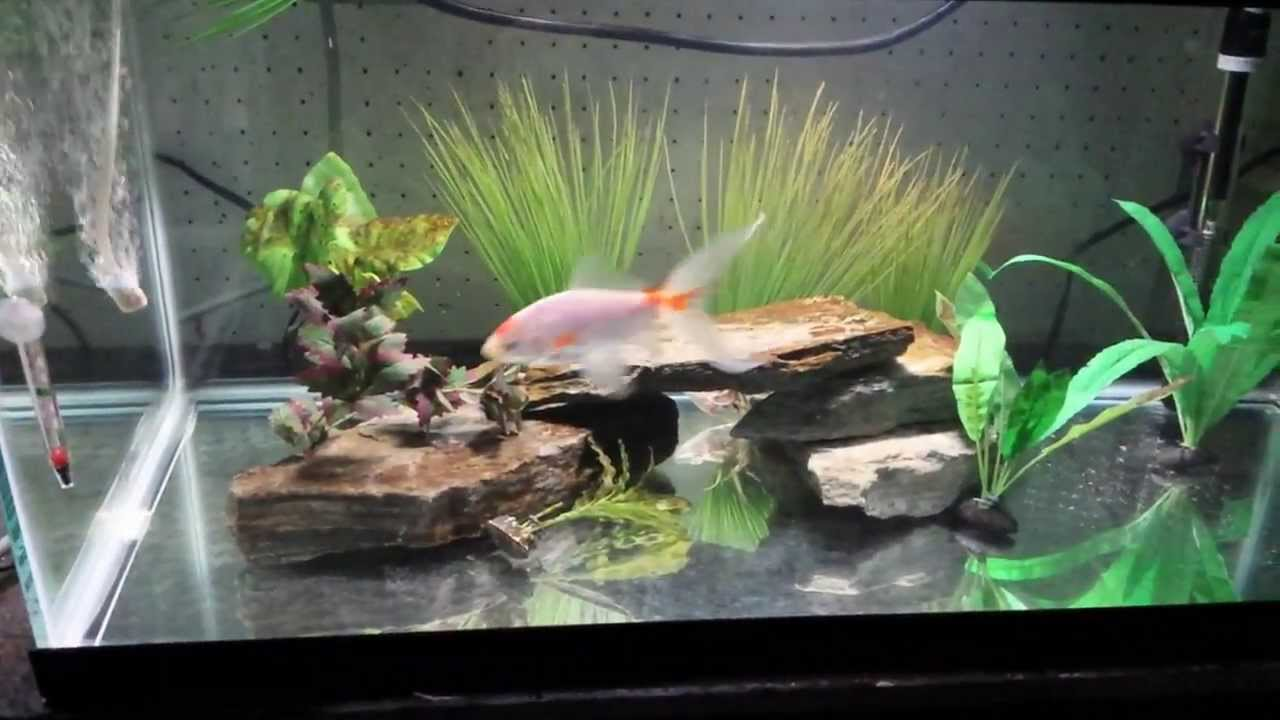 Comet Goldfish 40 Gallon Breeder Aquarium Youtube