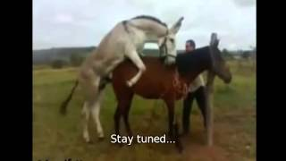 Animal reproduction Horse Donkey reproduction of 2013 crazy