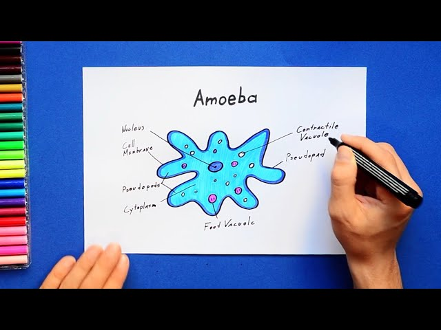 How to draw amoeba - labeled science diagram