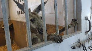 В штате Флорида за решетку попало кенгуру