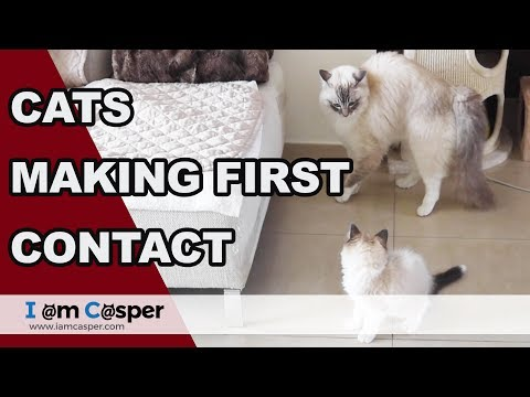 Introducing Ragdoll Cats - Making contact - Day 2 Part 1