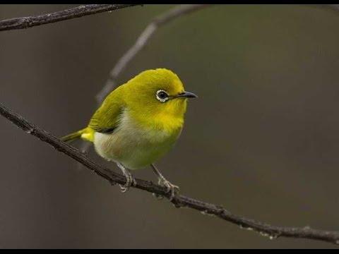 Suara Pleci Pemancing Burung Ombyokan