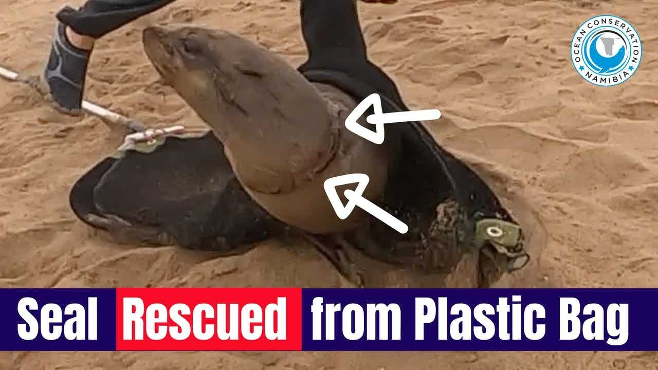 Seal Rescued from Plastic Bag