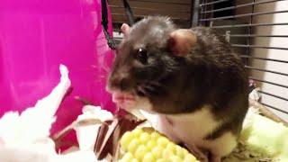 お食事が終わったら口の周りは拭きますよ。ネズミのヌードルスさんが見せたマナーの良さったら!
