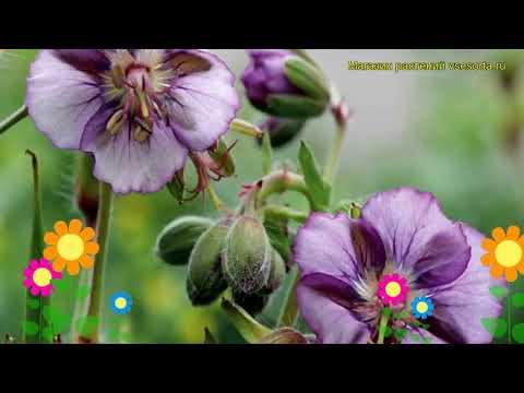 Герань темная Лавандовая Вертушка. Краткий обзор, описание geranium phaeum Lavender Pinwheel