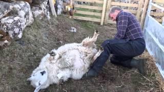 Eachan Lambing a sheep having difficulty.