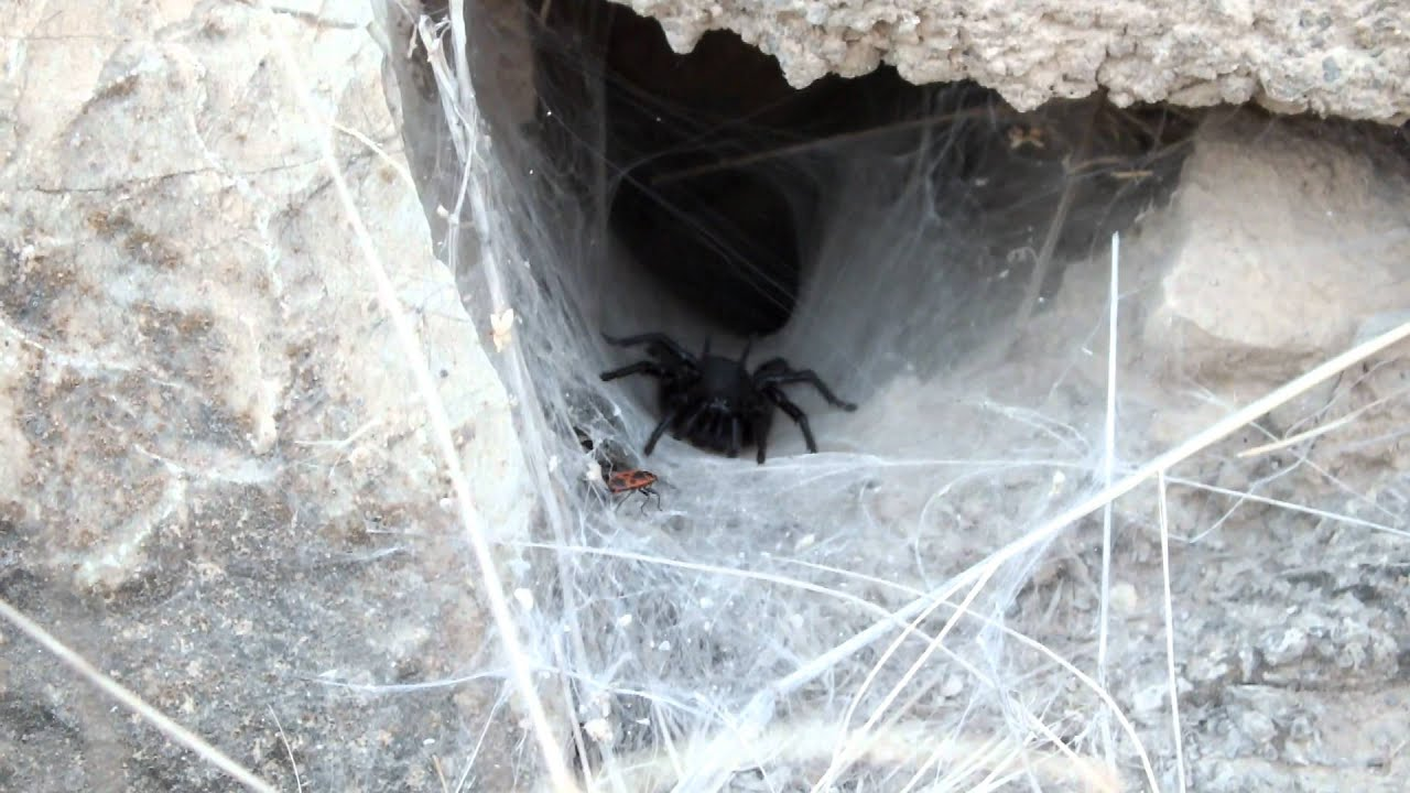 Macrothele calpeiana (Walckenaer, 1805) - YouTube Funnel Spider Web
