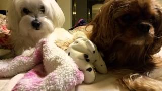 Maltese And Cavalier King Charles Spaniel Chillin