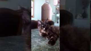 Hermione MOS Lakshestar 3 месяца. Котёнок Мейн кун.