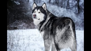 Самая мощная и темпераментная порода собак Аляскинский маламут — северный ездовой гигант