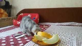Моя кошка любит дыню