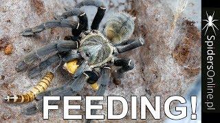 FEEDING VIDEO! - Trochę rarytasów - spidersonline.pl