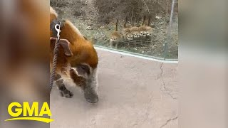 During the Cincinnati zoo closure, red river hog, Sir Francis Bacon, visited meerkats