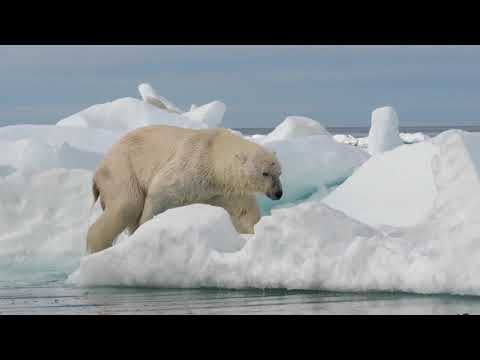 Kings of the Arctic - Polar Bears, Whales & Walrus