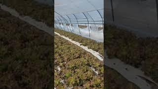 토생팜 게르마늄농법 상추재배