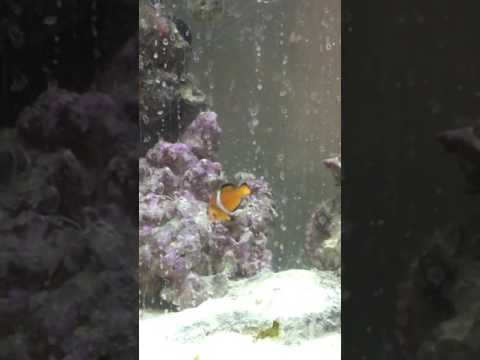 Clownfish And Sixline Wrasse 20 Gallon Tank