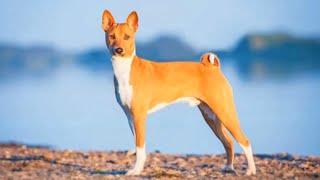 Basenji  medium size dog breed