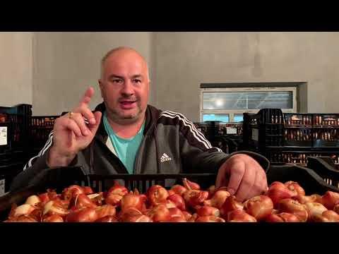 Выгонка тюльпанов. ЛУКОГОН: Обзор поставки голландской луковицы экстра-класса 2020!