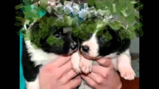 ТОП 10 самых добрых пород собак 1 версия
