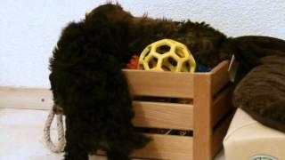 I-Wurf Bolonka vom Reiat 8 Wochen alt