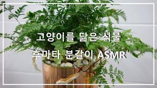 고양이를 닮은 식물, 후마타 분갈이 ASMR