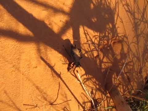 Pinacate Beetle (Eleodes caudiferus) - June 5, 2011