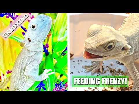 Unboxing Zero Morph Bearded Dragon Baby And A Feeding Frenzy