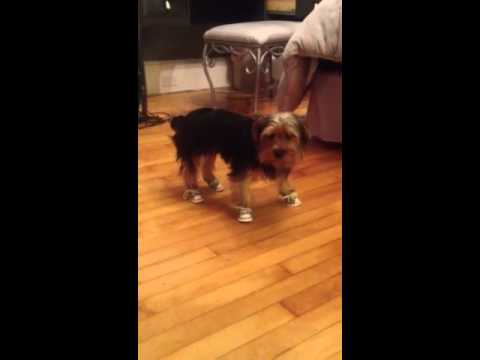 Yorkie In Shoes For The First Time Youtube