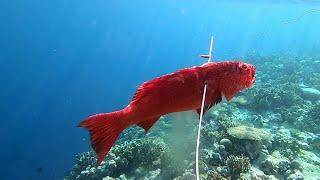 TEST SPEARGUN BARU ~ dapat ikan ini !!!