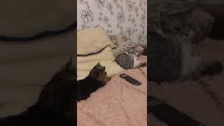 Очень звонко гавкает на кошку.