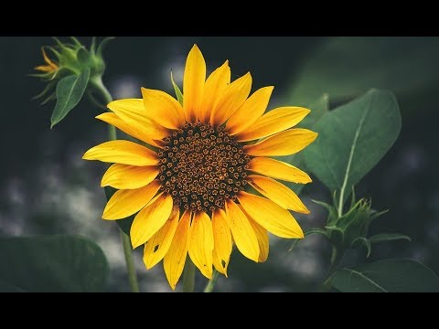 SUNFLOWER PAINTING FOR BEGINNERS-HOW TO PAINT/DRAW A ...