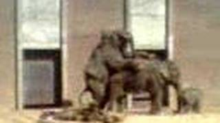 elephant sex in dutch zoo
