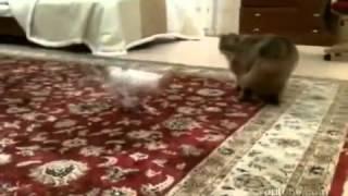 Наглая маленькая собачка достает кота