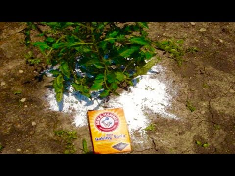 Add Baking Soda To Your Tomato Plants, Just Days Later You Won't Believe What Happens!