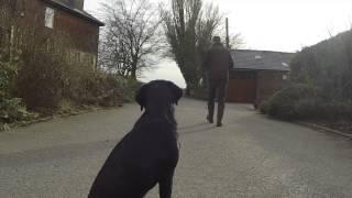 Teaching A Labrador To Retrieve Small Cold Game - Gundog Training.