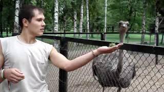 Кормление страуса