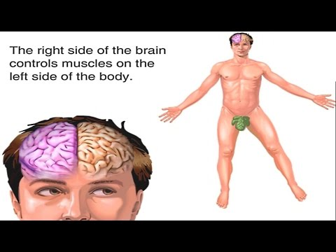 How Does the Brain Work? Human Brain Structure and Function Animation - Lobes of the Brain Video