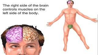 How Brain Works Animation: Human Brain Structure & Function Video -Brain Lobes: Anatomy & Physiology