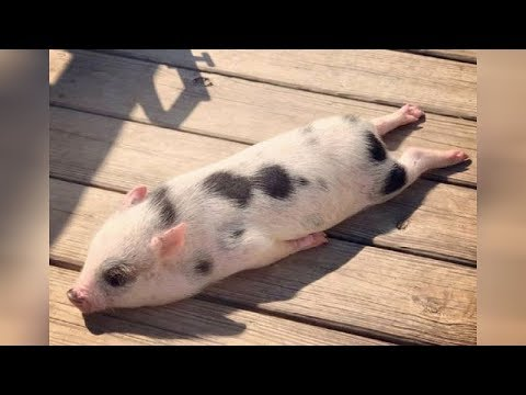 Did you know that PIGS CAN BE SO FUNNY? – FUNNY PIG VIDEOS will make you DIE LAUGHING