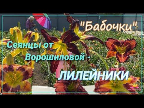Бабочки и гиганты - сеянцы лилейников Ворошиловой / Сад Ворошиловой