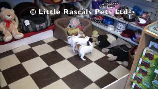 Little Rascals Uk Breeders New Litter Of Jackapoo Puppies