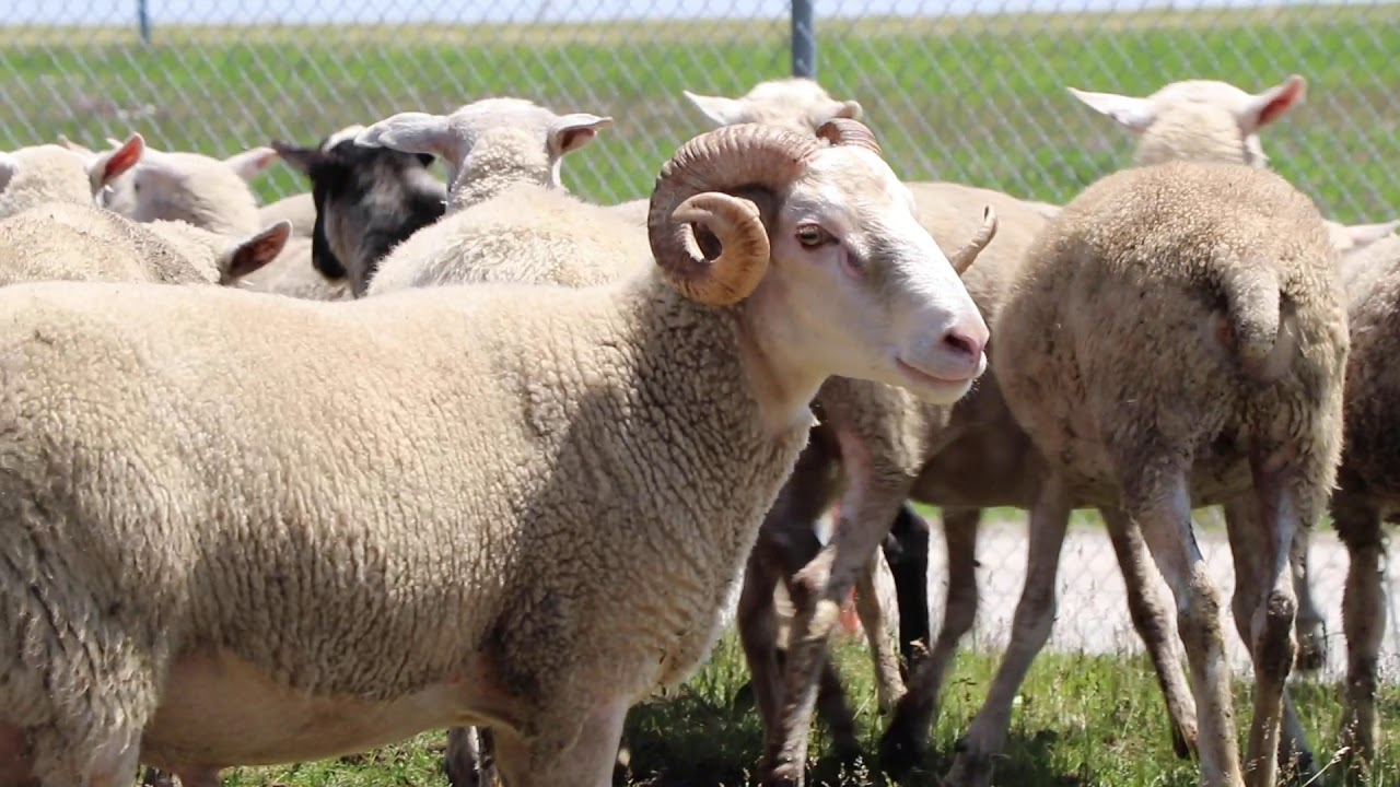 Grazing Herd Returns to O'Hare to 'Do What They Do Best: Eat Weeds'