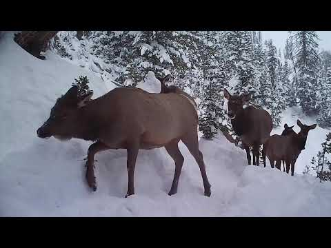 On The Elk Trail: Episode 7 - What Migration Means