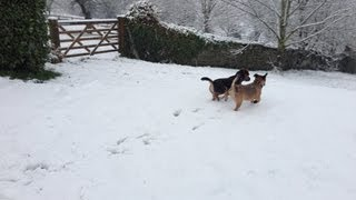 Border Terriers, Laylabelle And Ozzybolton, Have Fun In The Snow
