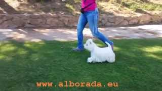 Promessing Westie For Dog Shows, Alborada Holly