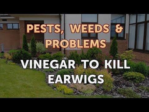 Vinegar to Kill Earwigs