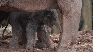 Rare Baby Elephant Seen Running With Herd Just An Hour After Being Born